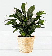 Plants: Lush Tropical Peace Lily