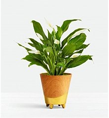Plants: Serene Peace Lily Plant