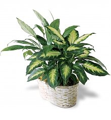 Plants: Peace Lily Planter
